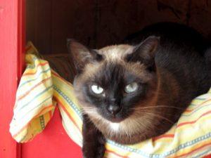 Asha cat